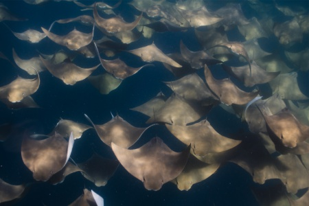 tofo scuba travel cownose rays