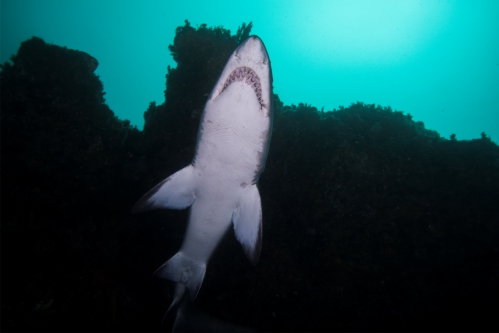 protea banks ragged toothed shark below